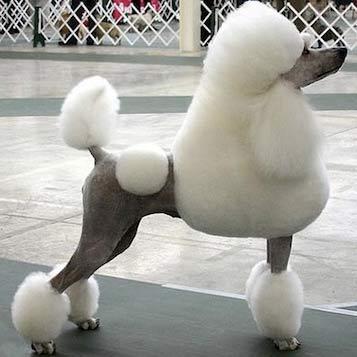la peluqueria canina deja este Poodle como para un campeonato