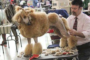 Poodle en sesión de estetica canina