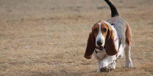 Este perro de pelo liso es de raza Bassed Hound