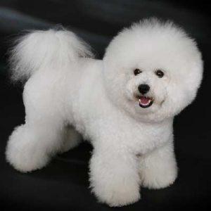 Este Bichon de Frise es un perro pequeño de pelo lanoso