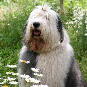 Este gran perro cuenta con una cabellera lanosa, Bobtail