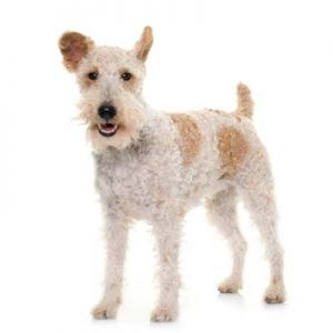 Fox terrier de pelo alambre y tipo de pelo duro
