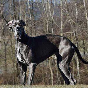 Gran danes el mas grande perro de pelo liso