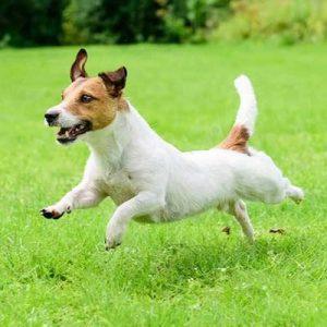 Jack Russel Terrier perro de pelo duro