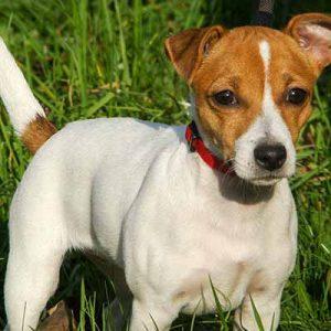Jack Russel terrier perro pequeño de pelo liso