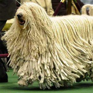 El komondor es un hermoso perro de pelaje lanoso y algunas rastas