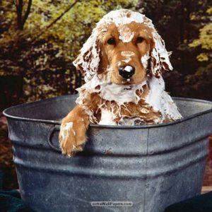 En la peluquería canina el lavado es muy importante
