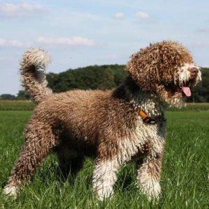 Hermoso perro de agua español color cafe y de pelo lanoso