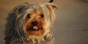 Yorkshire, perro pequeño de pelo liso