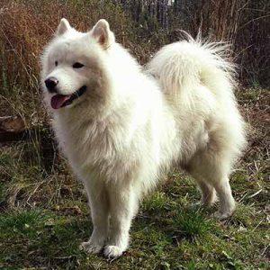 Samoyedo con una cabellera lisa y blanca como la nieve