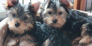 Yorkshire terriers cachorros, estos tiene el pelo liso