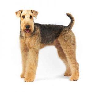 Airedale terrier perro de pelo duro