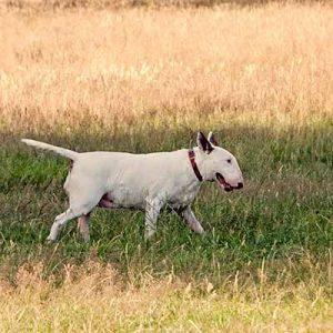 Bull Terrier ingles con pelaje fino