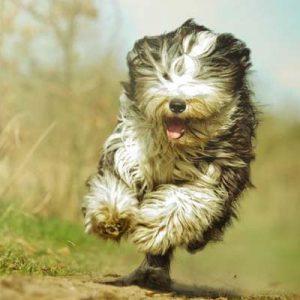 Collie Barbudo perro con pelo duro