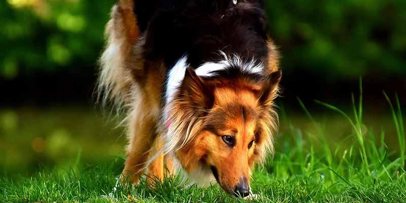 Este perro tiene el pelo liso, es un collie de pelo largo