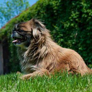 pequines pequeño perro de pelo liso