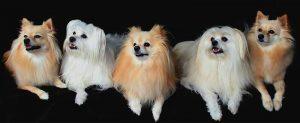 Raza de perros Pomerania, estos tiene la cabellera lisa