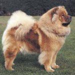 Perros como el Chow Chow tiene el pelo crespado o aspero