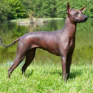 El perro peruano tiene un tipo de pelo raro, ninguno o poco