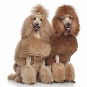 A los caniches se les caracteriza por el tipo de pelo lanoso