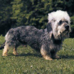 Este perro, el Dandie Dinmont, tiene un tipo de pelo raro