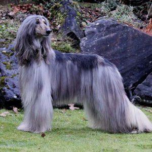 perro afgano, tiene el tipo de pelo raro