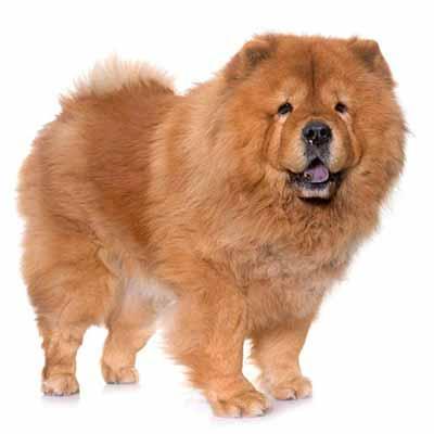 El chow chow es un perro de pelo aspero