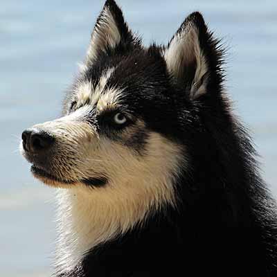 Husky siveriano cuento con pelaje aspero