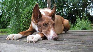 Podenco cautivador, es un perro de pelo corto