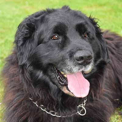 Terranova perro de pelo aspero