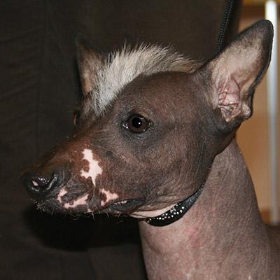 perros sin pelo Xoloitzcuintle mexicano