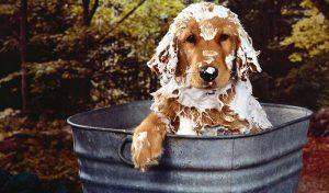 Bañando a un Golden Retriever de pelo aspero