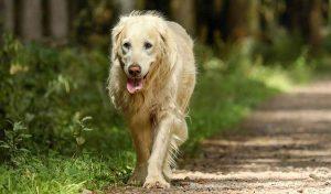 El golden retriever cruzando el bosque con su melena aspera