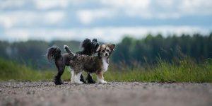 El perro sin pelo acompañado de otro cachorro