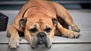 Continental Bulldog, sabe que tiene el pelaje cortico
