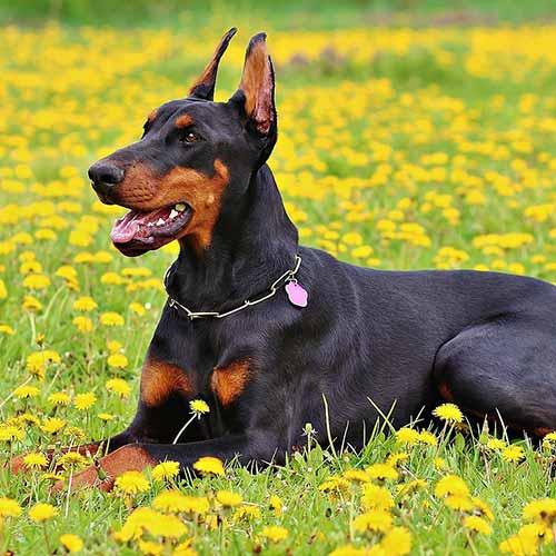 Hermoso Doberman, perro de pelo corto