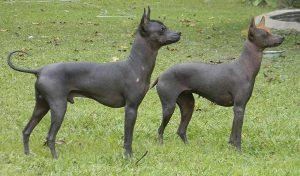 Perro de pila argentino es otra variedad del perro sin pelo