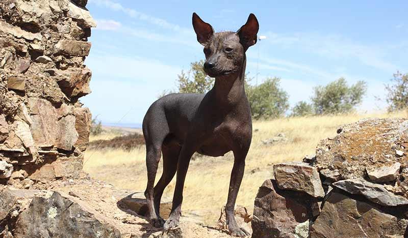 perro sin pelo peruano bello ejemplar