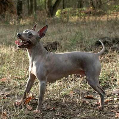 perros sin pelo terrier americano