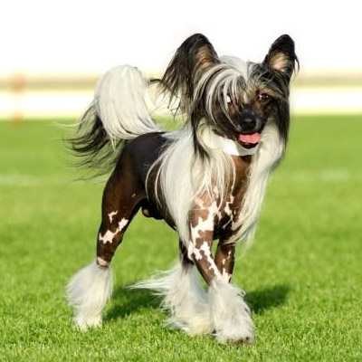 Perros sin pelo crestado chino