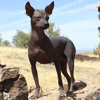 Perros sin pelo Peruano