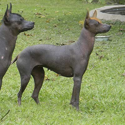 Perros sin pelo pila Argentino