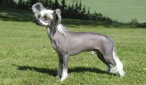 Perro sin pelo en todo su esplendor