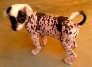 perro pequeño sin pelo