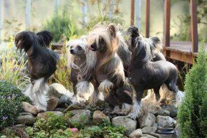 Varios perros sin pelo chinos
