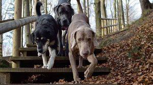 Weimaraner liderando la manada de perros de pelo corto