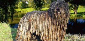 perros con estilos tipo Dread, con nudos