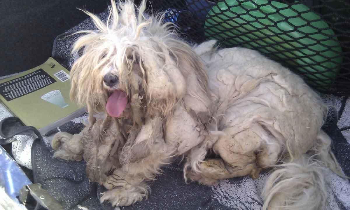 Quitar nudo del pelo de los perros