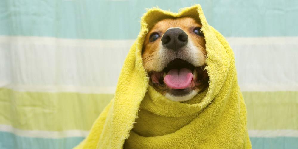 Perro listo para la cabina de secado