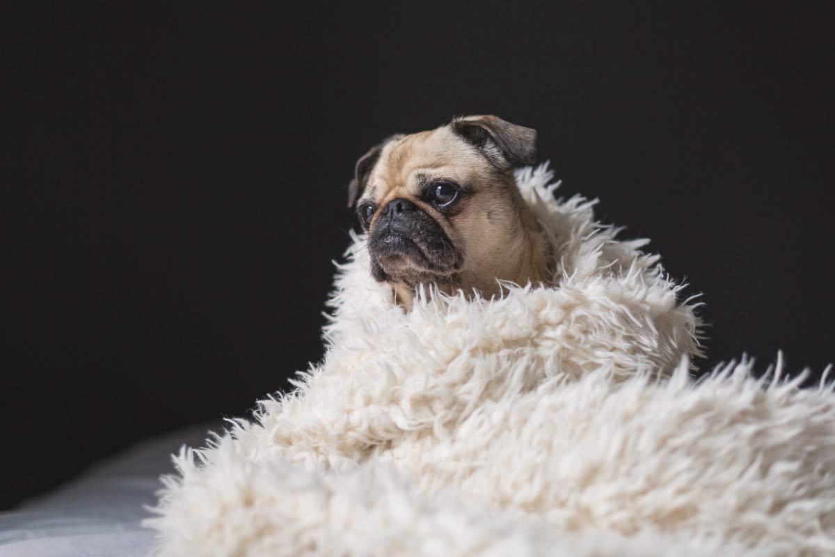 perro pug entre toalla para secado de pelo